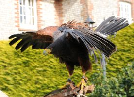 Harris Hawk Stock 12 by LRG-Photography
