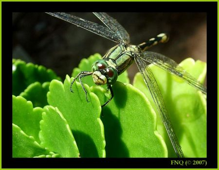 Dragonfly by FNQ