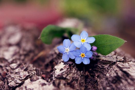 Forget-me-nots by DoriDuff