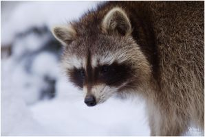 Snowy Racoon by W0LLE
