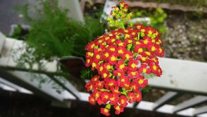 Red Yarrow by TheRebelWithNoCause
