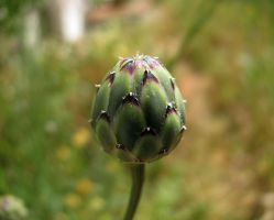Dagger Flower Bud 1 by dracontes