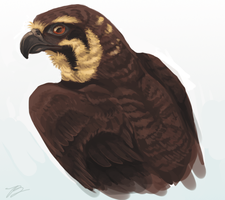 Brown Falcon Study by Vrine