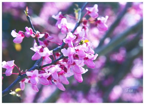 Same Tree, Individual Blooms by TeaPhotography