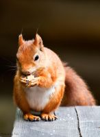 Red Squirrel2 by PictureByPali