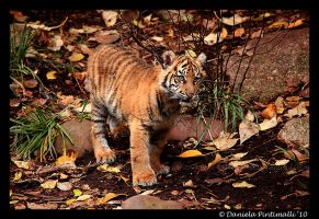 Baby Tiger Portrait VIII by TVD-Photography