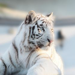 White tiger by Ivoryia