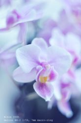 pink Orchid by AlexEdg