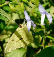 Cloudless Sulphur by duggiehoo