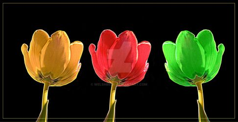 Tulips by welshbeck