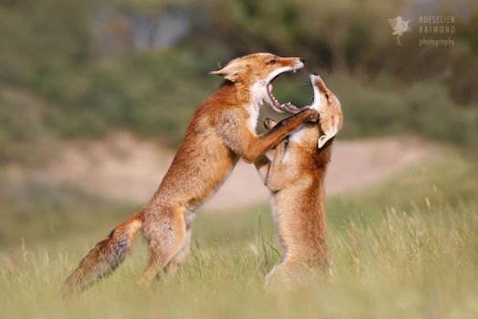 Agreeing to Disagree - Fox Fight by thrumyeye