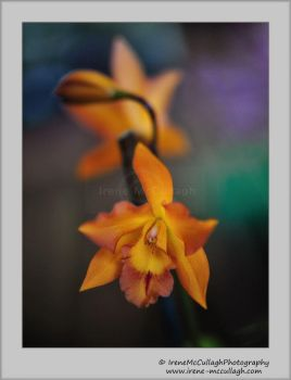 Orchidee by substar