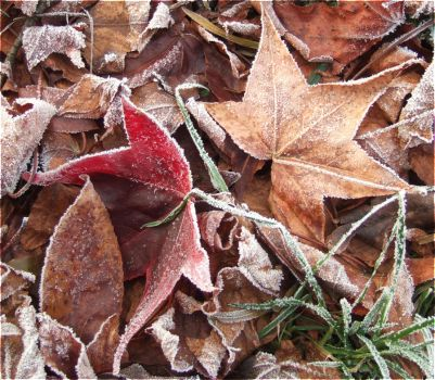 Frosty Leaves by laracoa