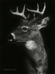 Stately Prince - Scratchboard  by ShaleseSands