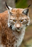 Lynx_2 by PictureByPali