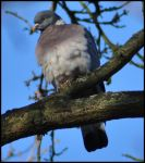 Fluffy wood pigeon by Somebody-Somewhere