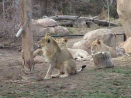 Lions at the Denver Zoo by kylgrv