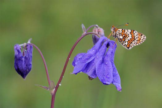 Butterfly on Aquilegia by mescamesh