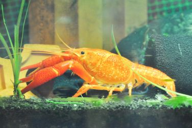 Orange Crayfish by sharpion