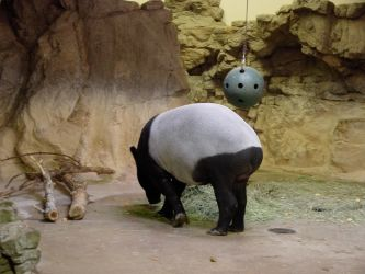 STOCK - Denver Zoo - Malayan Tapir 2 by calisphere