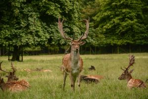 Fallow Deer Stock - Proud Buck by LuDa-Stock