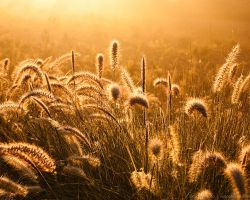 Glowing Foxtails 4 by isotophoto