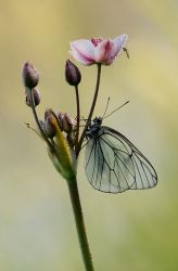 About the butterfly and a mosq by dralik