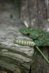 Monarch Caterpillar by queenkale