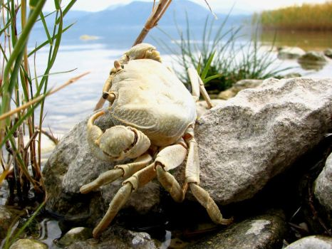 Oh Crab by burak-thecrow