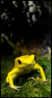 Golden Frog by Caelitha