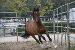 Crazy Warmblood 8 by Aestivall-Stock