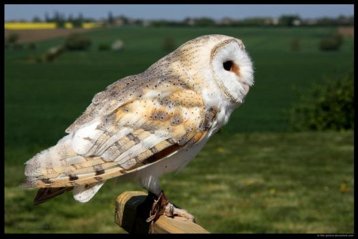 Barn Owl At the Ready by In-the-picture