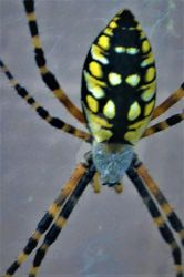 Banana Spider by Brian-Did-It