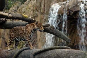 Jaguar, waterfall by oOBrieOo