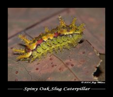 Spiny Oak Slug Caterpillar by Tazzy-