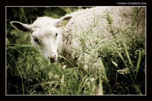 Sheep by tomba76