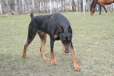 Black doberman stock 1 by brenna33
