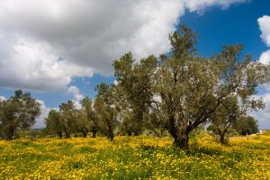 Olives of Israel by guyfromczech