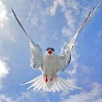 Coming to get you - Arctic Tern by Jamie-MacArthur