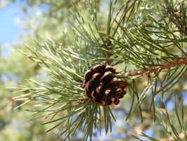 Pinecone dreams by PhoetryPlanet