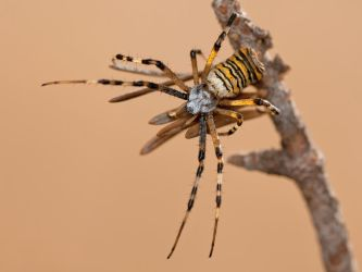Wasp Spider by ELKAPL