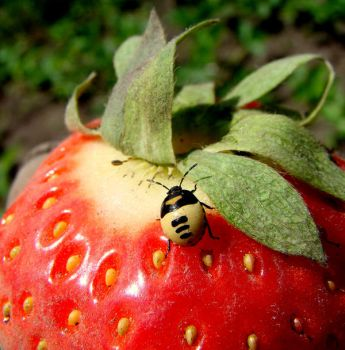 beatle in world of strawberry by LosAnnas