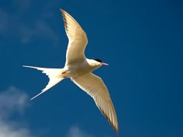 Arctic Tern 03 by nordfold