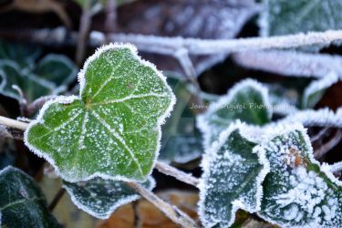 Frosted Ivy  by Jamie-Chedrick