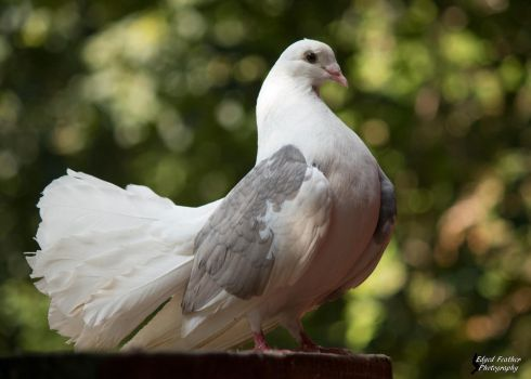 Pigeon by EdgedFeather