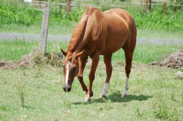 Chestnut front on leg lifted by Chunga-Stock