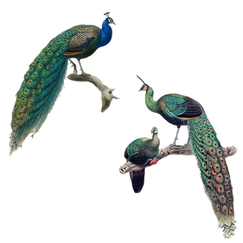 Peacocks Illustrations PNG by chaseandlinda