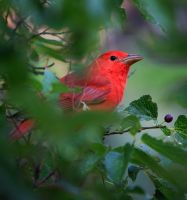 Summer Tanager by ernieleo
