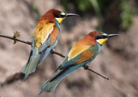 Two of a kind - European Bee-eater by Jamie-MacArthur