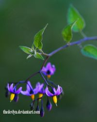 Woody Nightshade by TheDevlyn